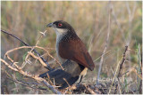 burchells - coucal.jpg