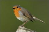 rouge gorge - european robin