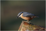 sittelle - wood nuthatch