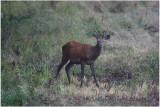 daguet -   juvenile red deer.JPG