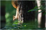 ecureuil -  squirrel 2.jpg