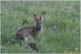 lapin -  rabbit 2.jpg