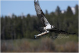 balbuzard  osprey.JPG