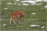 bison 7.JPG