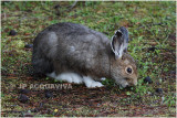 lievre americain snowshoe hare.JPG
