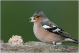 pinson des arbres - common chaffinch 2.JPG