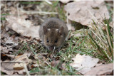 mulot -  wood mouse.JPG