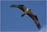 balbuzard  osprey 2.JPG