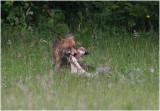 renard -  fox 1.JPG
