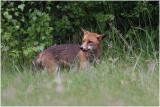 renard -  fox 4.JPG