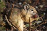 ecureuil terrestre -  ground squirrel.jpg