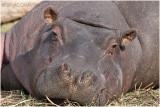 hippopotame 3.jpg