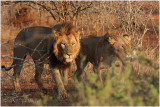 lions amoureux -  lions in love 1.jpg