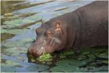 hippopotame 2.jpg