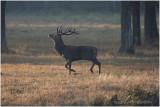 cerf elaphe -  red deer.JPG