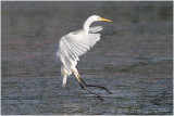 grande aigrette - great egret 3.JPG