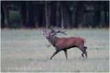 cerf au brame - red deer rut 1651.JPG