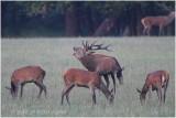 cerf au brame - red deer rut 1708.JPG
