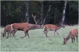 cerf au brame - red deer rut 1853.JPG