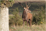 cerf elaphe - red deer.JPG