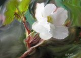 begonia in oils