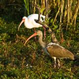 White Ibis and Juvenile White Ibis
