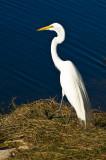 Great Egret 4