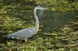 Great Blue Heron 6