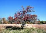 The Alone Apple Tree