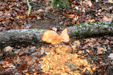 Beavers Been A around, Pictures Made in VA. 1/2/09