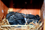 Baby Blue Birds, they done left the nest, Photos made 7/7/10