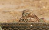 Little Owl         כוס החורבות