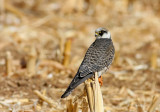 Red footed Falcon (young)