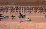 Hula Valley Nature Reserve-Israel   אגמון החולה