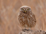 Little Owl     06/2010