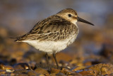 Really close to the Dunlin.