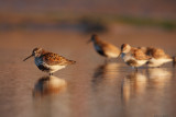 Group of dunlins.
