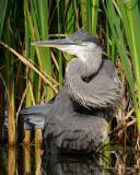 Grand heron - Great Blue Heron