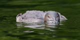 Huard (Juvénile) - Common Loon (juvenile)