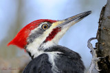 Grand pic (Mâle) - Pileated Woodpecker (male)