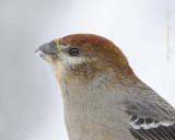 Durbec des sapins - Pine Grosbeak (Female)