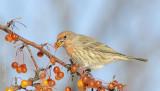 Roselin familier - House Finch (male)