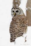 Choiuette rayée - Barred Owl