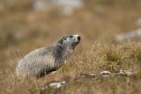 Marmotta (Marmotta marmotta)