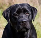 Cole the Labrador Retriever