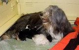 Ellie the Bearded Collie and her newborn puppies