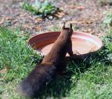 Red Squirrel Haiku #2
