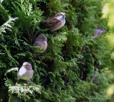 Sparrows Haiku #3