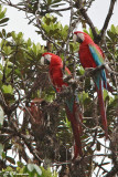 Ara chloroptère/Red-and-Green Macaw (Escalera Road, 4 décembre 2008)