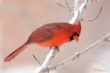 Cardinal rouge (Île des Soeurs, 17 janvier 2009)